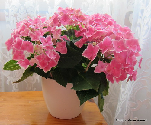 My pink hortensia by Anna Amnell