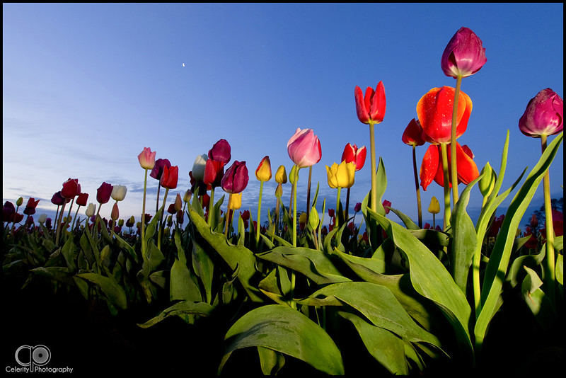 Morning Tulips