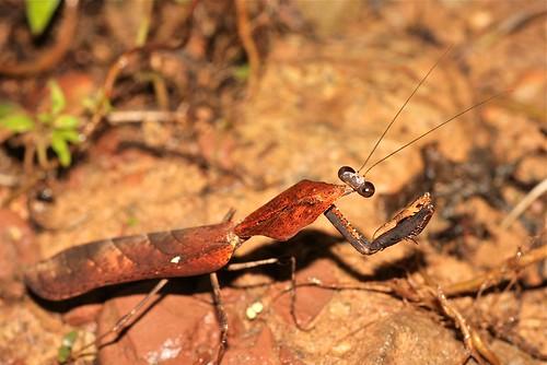 Deroplatys cf. lobata (Mantidae)