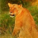 An African Lioness