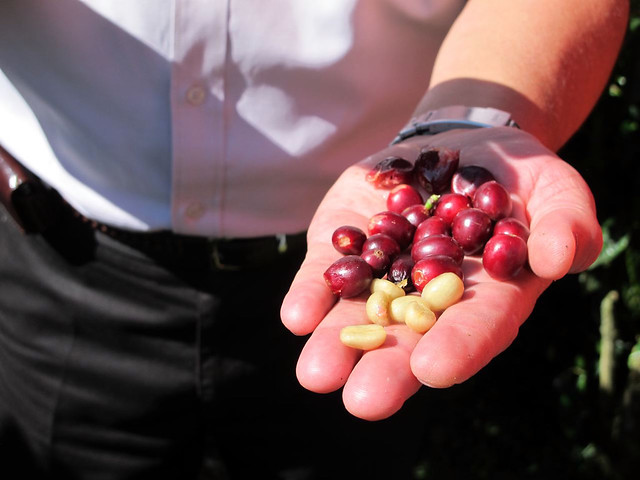 Fruit and grain, fresh off the coffee tree
