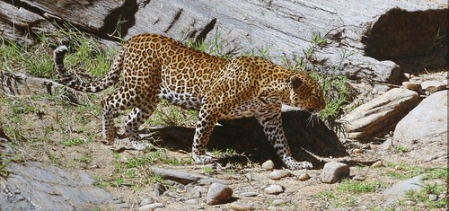 "'Leopard Territory' oil on board 12½"" x 26¼"