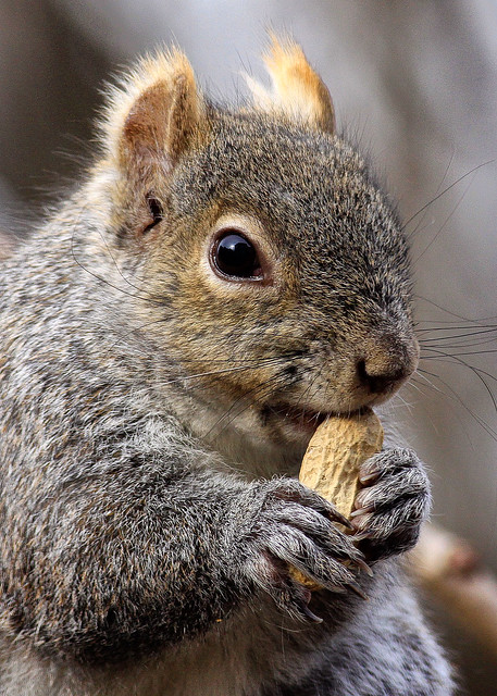 Mr. Eastern Grey Squirrel enjoying his Peanut.