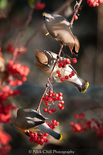 Waxwings at Breakfast