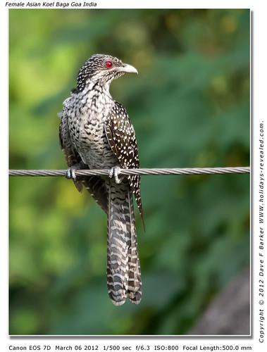 Female Asian Koel Baga Goa India