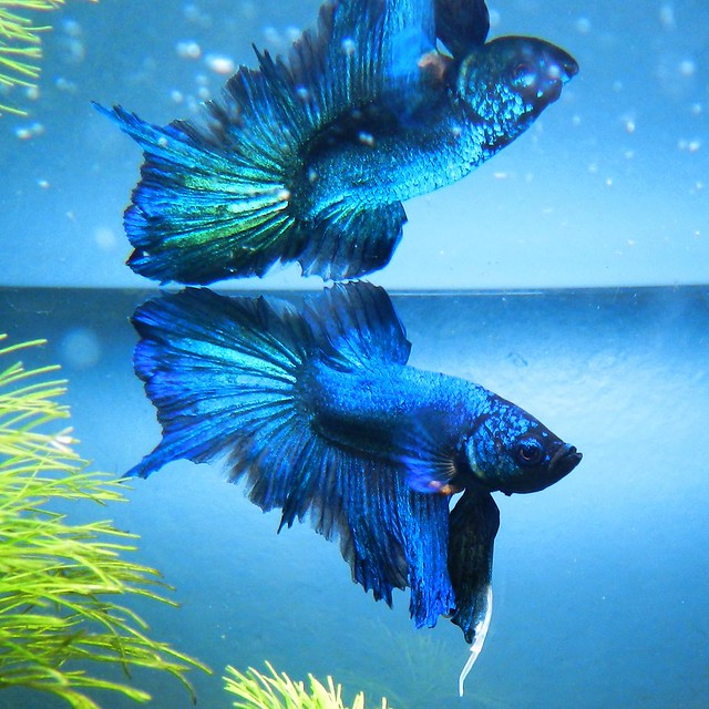 Betta butterfly halfmoon crowntail | Flickr - Photo Sharing!