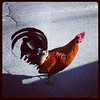 Key West Roosters Everywhere