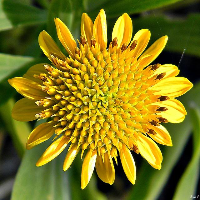 Borrichia frutescens bushy seaside oxeye the bushy for 7194 garden pond