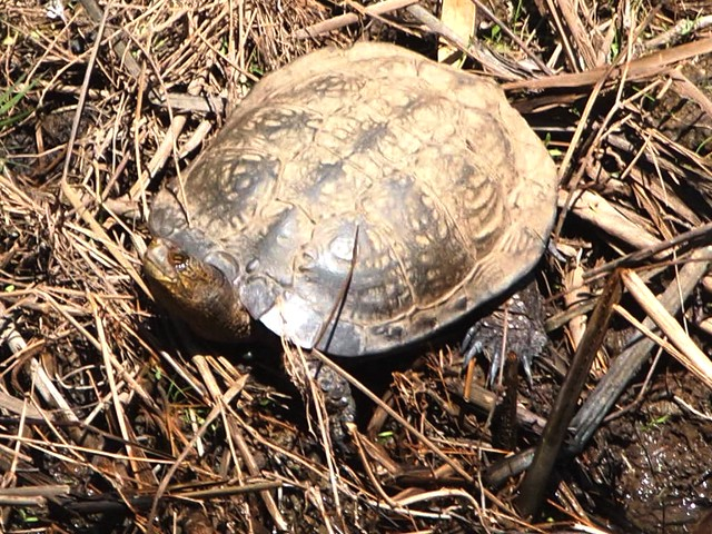 Western pond turtle actinemys marmorata san mateo co for 7194 garden pond