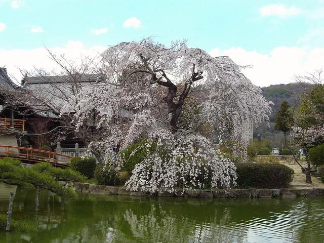 宇賀神社のしだれ桜