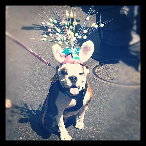Easter Parade 2012 Fifth Avenue #bulldog #nyc #newyork