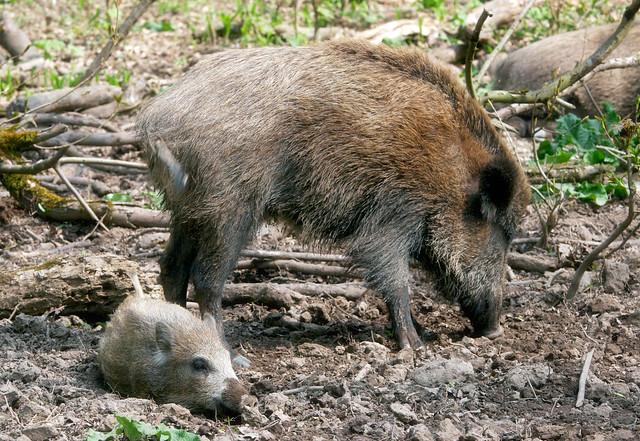 R Hogs 1000+ images ab...
