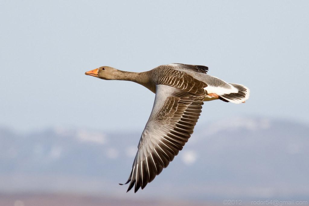 Greylag Goose - Grágæs