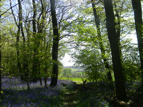 Bluebell time 6