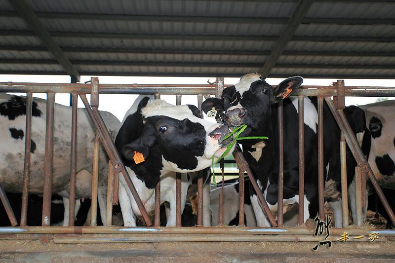 瑞穗牧場|花蓮瑞穗景點|乳酪瑞穗鮮奶冰-親子餵牛活動