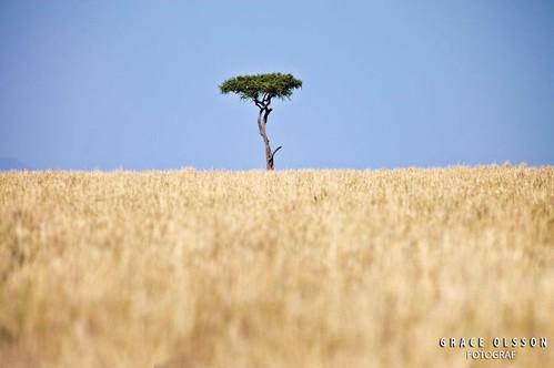 africa park blue sky tree nature landscape kenya nairobi mara lonely masai arusha