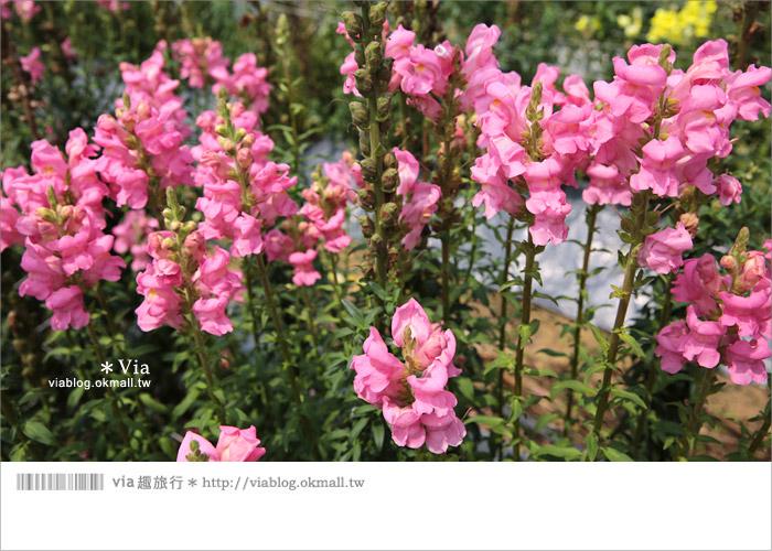 【向陽農場】賞花一日遊~[金魚草彩虹花田]繽紛盛開‧幸福賞花去!13