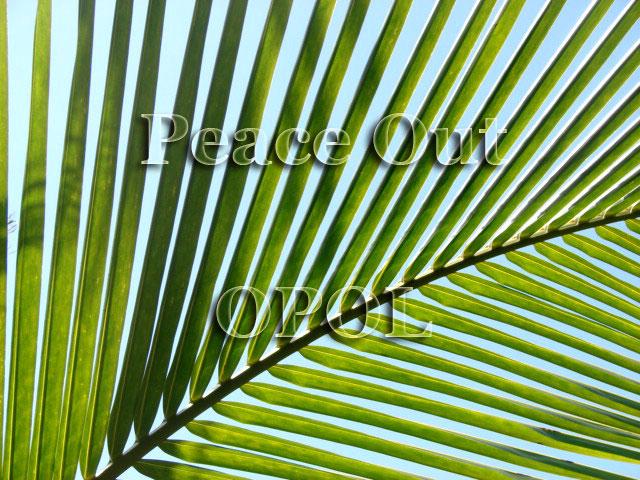 coconut-palm-Peace-Out-Opol