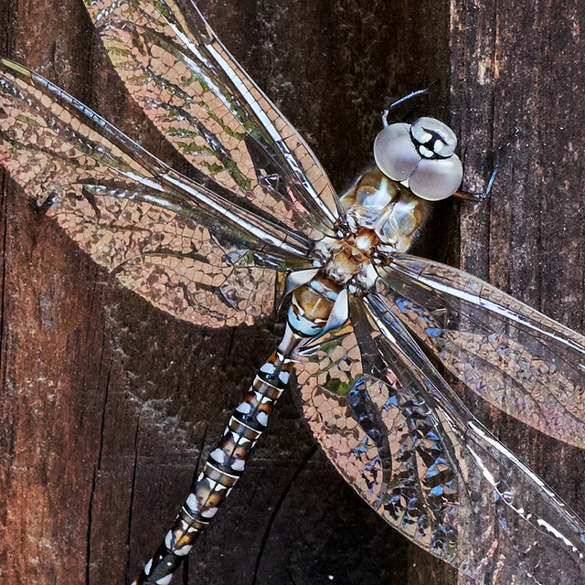 Dragonfly_fence1403