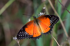 Cethosia biblis - the Red Lacewing (male)