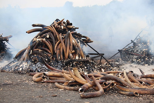 Elephant tusks burning to call for a ban on the ivory trade