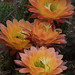 Echinopsis 'Apricot Dawn' by andysae