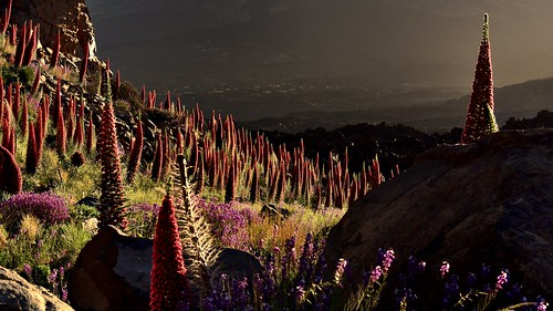 sunrise wildflowers natternkopf teidenationalpark islacanaria echiumwildpreti