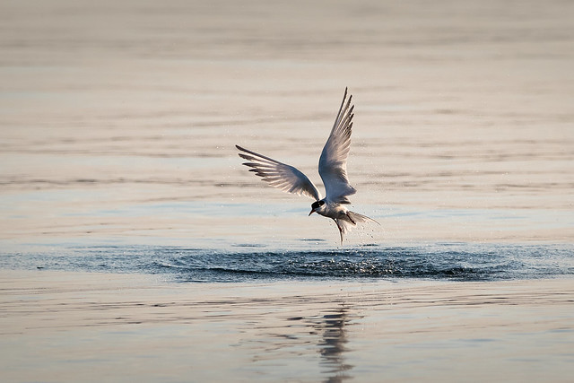 Tern rising from the water