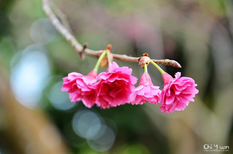 九族文化村櫻花祭-日07.jpg