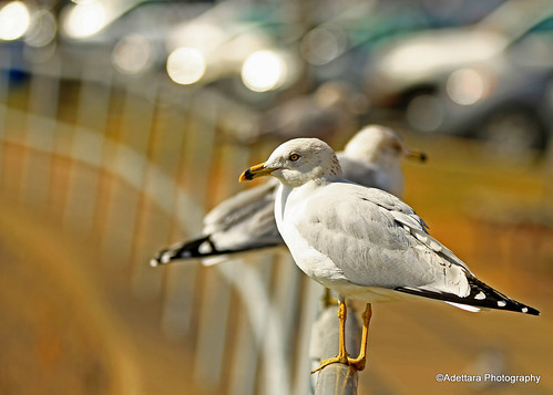 ~Gulls and Bokeh~