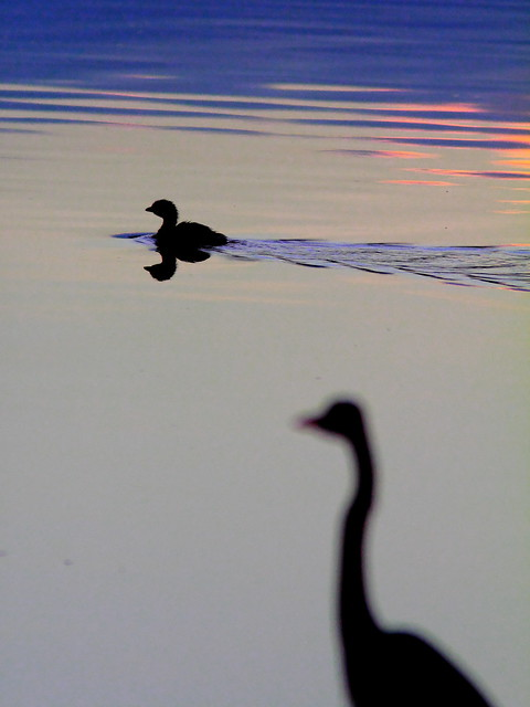 Pied-billed Grebe at dawn 20120302