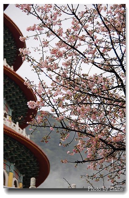 2012天元宮櫻花