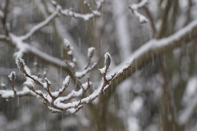 magnolia snow