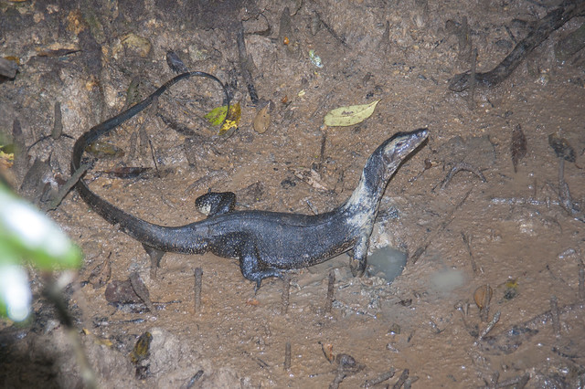 Malayan water monitor (Varanus salvator) digging into mudskipper hole