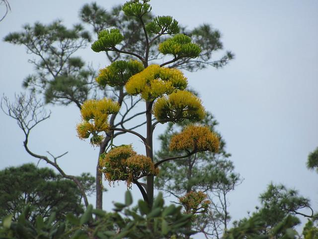 Agave flower spike 2