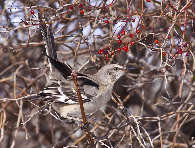 mockingbird berry cute