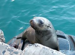Seal at Kalk Bay Harbour