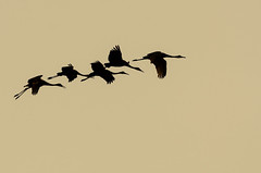 Five of Seven Cranes-1251.jpg by Mully410 * Images