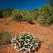 African Bloom