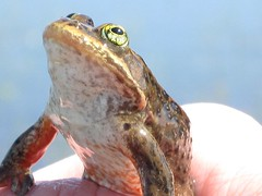 Oregon spotted frog on Conboy Lake NWR. Photo credit: USFWS