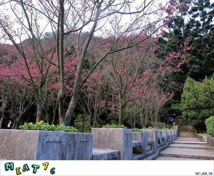 【遊記】陽明山國家公園|櫻花乍現在粉紅意境的花花世界18