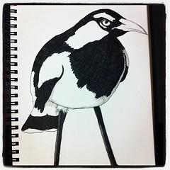 Sketch: Magpie-lark (pee-wee)