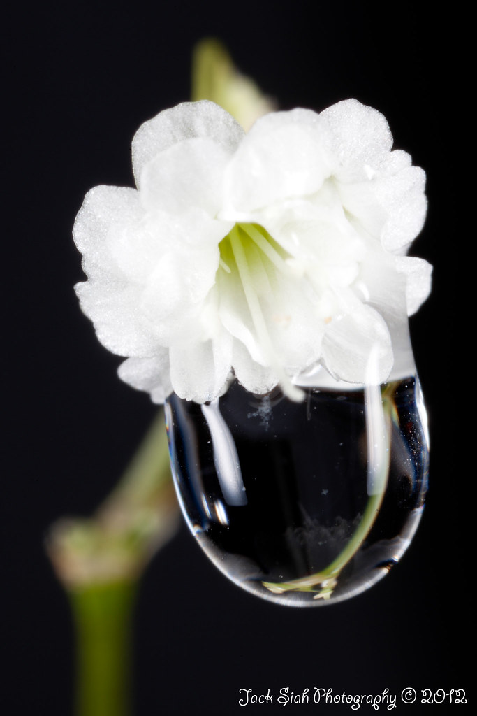 One of the million stars baby s breath flower with a drip of water 3