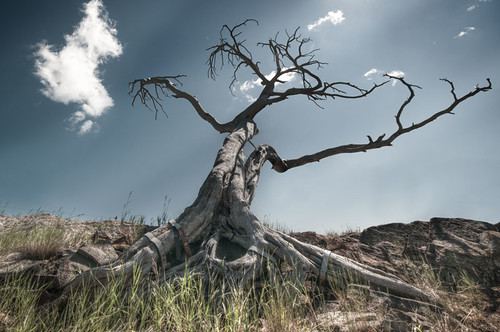 The burmis Tree by www.mysnapz.co.uk