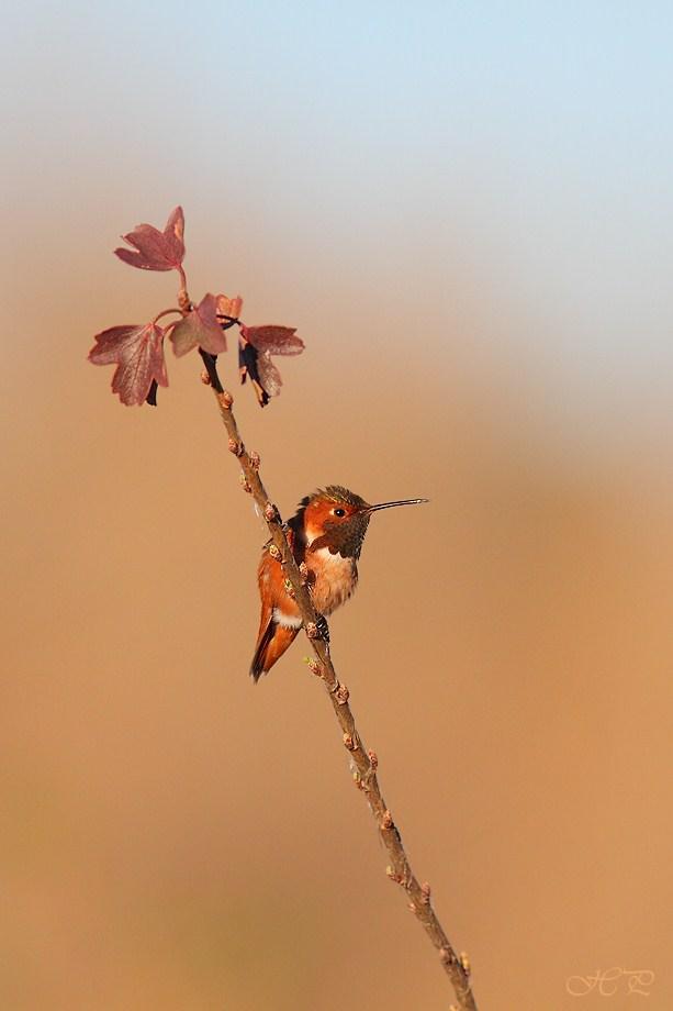 Allen's Hummingbird 022012-5