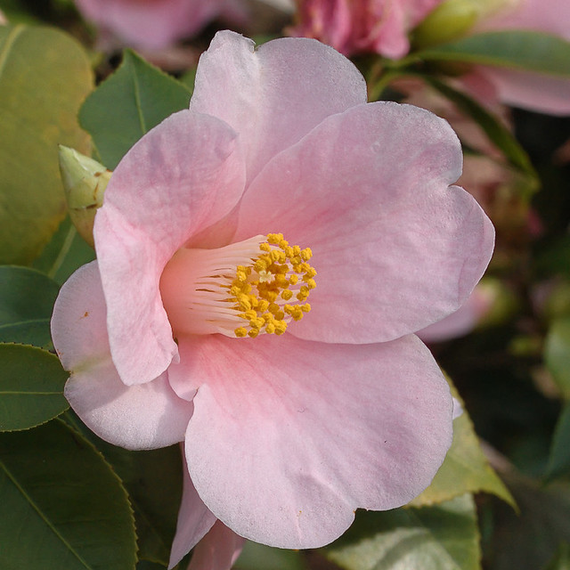 Missouri Botanical Garden (Shaw's Garden) in Saint Louis, Missouri, USA - camellia