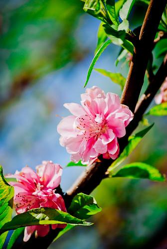 陽明山賞花