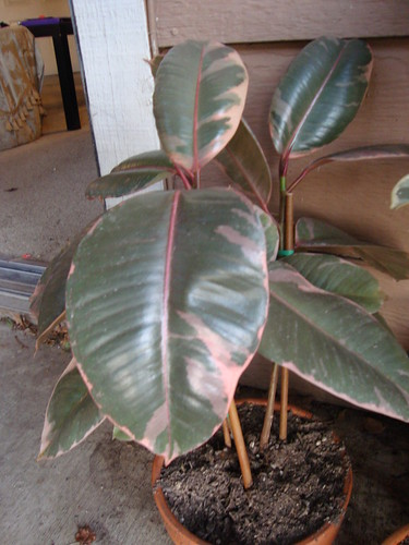 Rubber Tree Burgundy