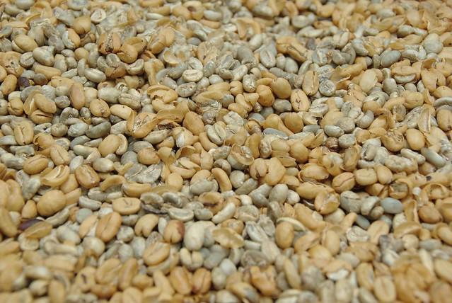 clean kopi luwak beans