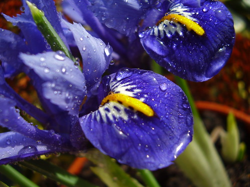 Feb 2012 339 Waterdrops on Iris reticulata
